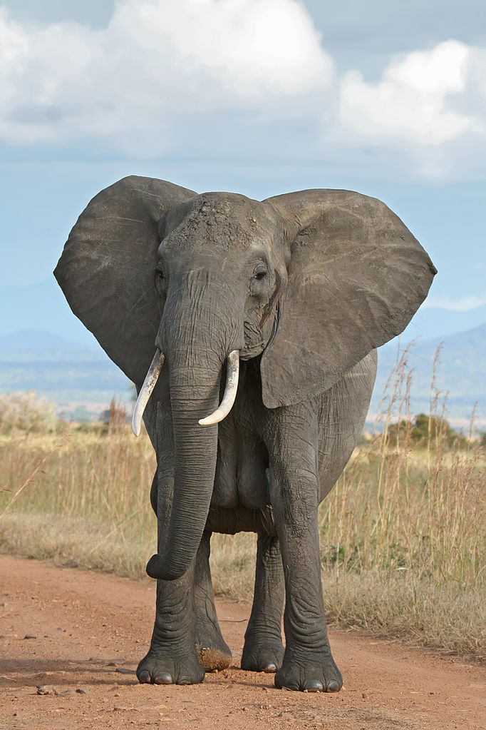 Elephants in Africa are disappearing at an alarming rate from poachers