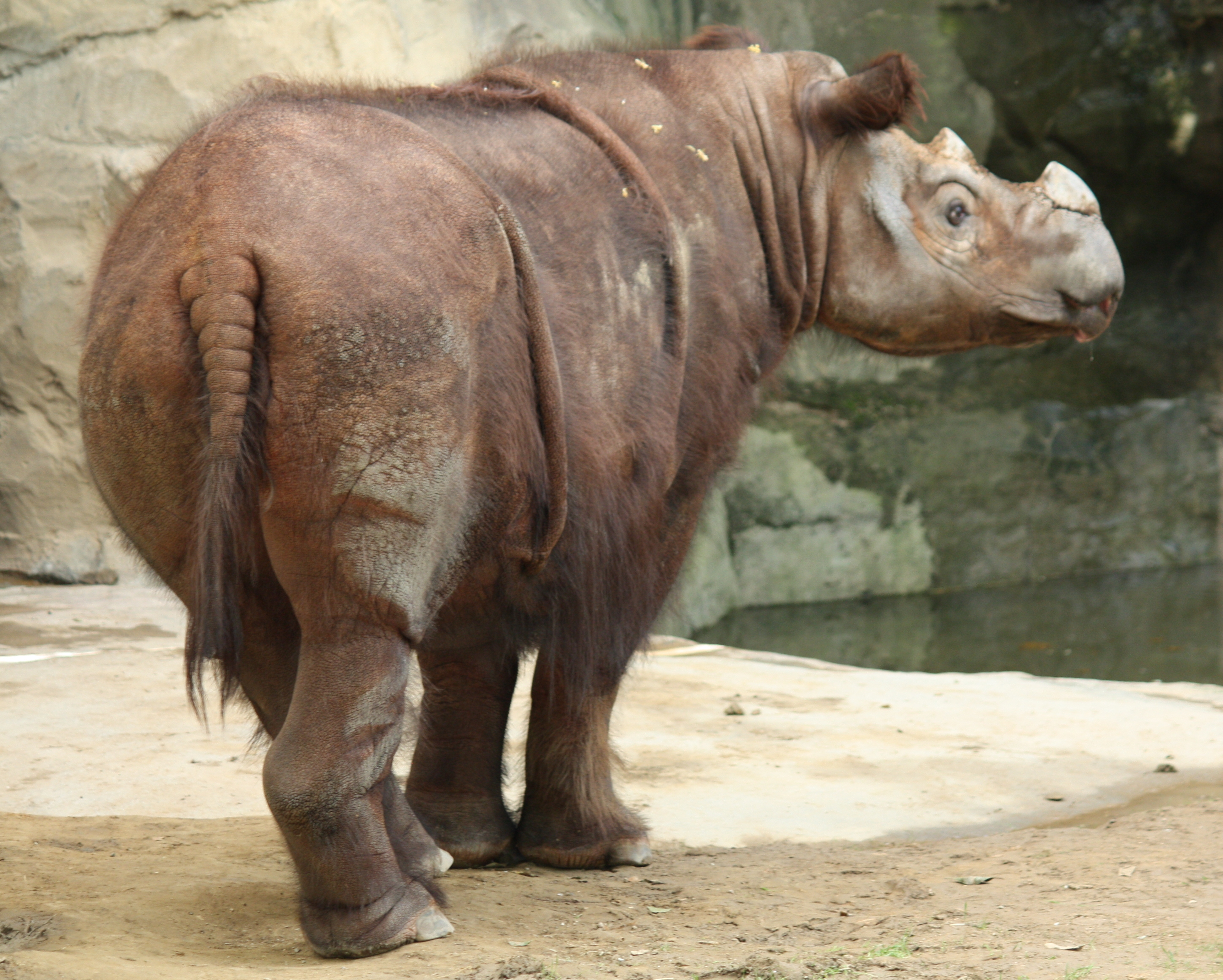 The Sumatran Rhino is a species close to extinction.