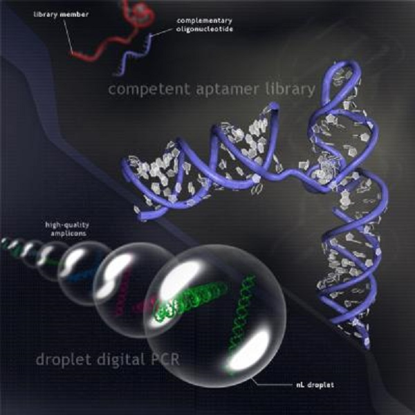 Researchers have developed a new technology that enables rapid discovery of aptamers, a fast-growing class of diagnostic and therapeutic agents. Aptamers are short sequences of genetic material that fold into precise 3-D structures that bind target molecules and inhibit their biological functions.