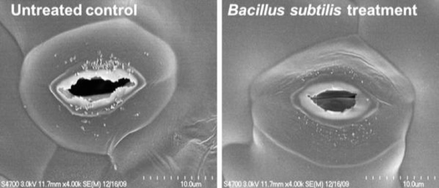 Plant probiotic Bacillus subtilis UD1022 induces stomata to close in plants to prevent disease.
