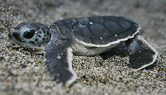 Scientists Find Effective Way To Hypnotize Baby Sea Turtles Plants And Animals